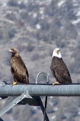 Golden and Bald Eagles