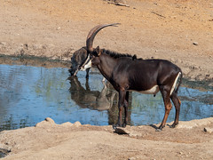 Male sable and warthog at waterhole