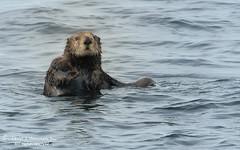 Inquisitive Sea Otter 1CGS8510