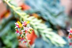 #nikon #d3200 #fotografia #foto #goiania #brasil #50mm #flores #flowers #suculenta
