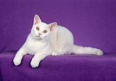 Yin West [F] [Breed: White American Shorthair]