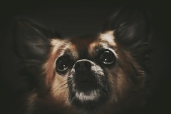 My sister Chihuahua ..Mallou ..I know it's a bit kitsch photograph
