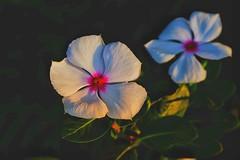 Vinca rosea (hoa dừa cạn).