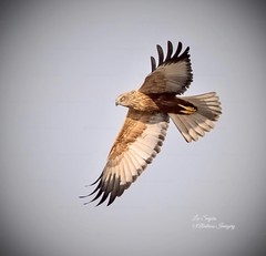 Beautiful Marsh Harrier.