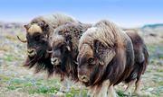 Trang trại chuyên nuôi bò sống sót từ kỷ Băng hà để lấy lông