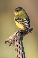 Lesser Goldfinch male / Mexikozeisig (Spinus psaltria) Tucson / Arizona
