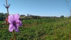 Flor do campo 1